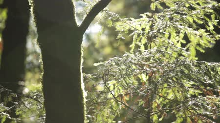 yemyeşil bitki örtüsü : Stationary close shot of mossy tree trunk in silhouette and fern leaves catching sun and wind. California.