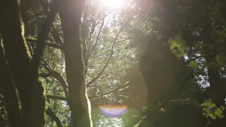 kapradina : Stationary shot of sun breaking through tree canopy in mid-frame, mossy tree in silhouette on left, leaves blowing on right. California.