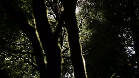 yemyeşil bitki örtüsü : Slow pan of moss-covered tree in silhouette against dense forest growth in shadows. California.