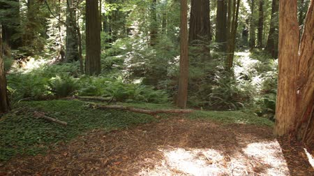 kapradina : Stationary shot of clearing of dirt in a forest. Dirt clearing is surrounded by ferns, grass, and trees. California.