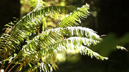 kapradina : Stationary close shot of fern fronds catching direct sunlight against a dark background of forest. Slight wind blowing in ferns. Camera a little shaky. California. Dostupné videozáznamy