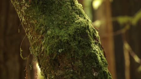 yemyeşil bitki örtüsü : Close shot centered on a moss-covered tree trunk in a forest. California