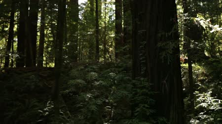 birincil : Shot of a forest in California. Creeping vines climb the trunk of a large deciduous tree.