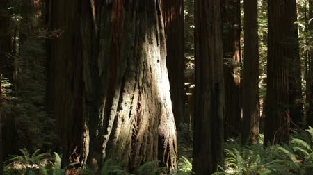 jungle : Slowly panning through the forest of California. Stock Footage