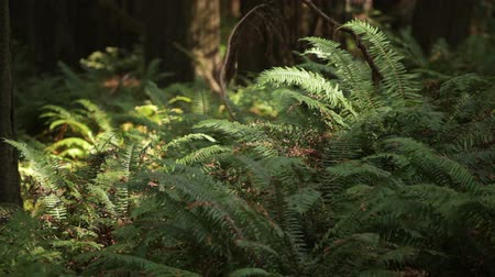 kapradina : Shot of a patch of ferns swaying in the breeze. California