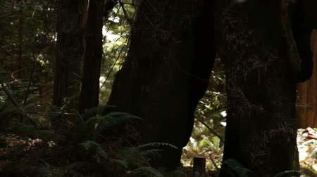 yemyeşil bitki örtüsü : Steady shot of a pair of wide trees next to a patch of ferns. California