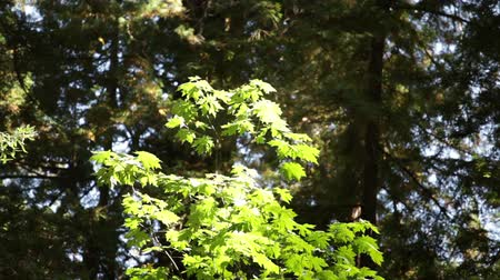ormanda yaşayan : Steady shot of a young, sunlit oak tree, set against a shadowy forest background. California Stok Video