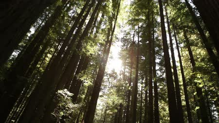 árvores : Steady shot as the sun peeks through a dense grove of tall, straight tree trunks. California