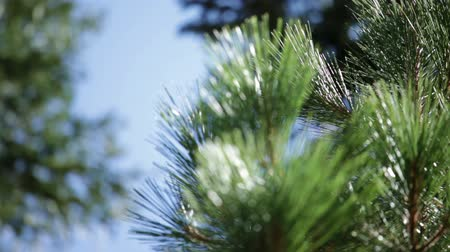 agulhas : Tracking close-up shot of pine needles at the tips of branches in a forest in Northern California. Stock Footage