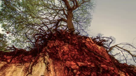 cliff : Dolly towards tree growing on a cliff edge with half its roots revealed by the removal of the soil around them. The shot is from a low angle facing up towards the branches of the tree. This location is at the foothills of the Carmel Mountains in Israel. 0