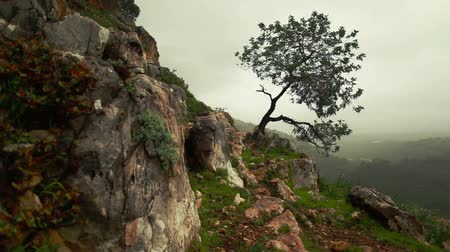 rochoso : Dolly right to left up a steep mountain slope with a lone tree clinging to the shallow soil of the rocky terrain swaying in the cold mountain wet breeze. Hazy forest valley floor in the far background. Near the Adamit Park region of Israel.
