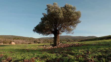 oliva : Low angle dolly left to right with a lone tree in the hills of Israel being the focus of the shot. Looks like an olive tree.