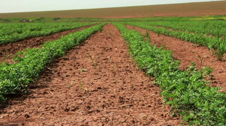 bitkiler : Low angled dolly left to right across rows of green vegetation in a field of bean plants that was once just desert in Israel. There is a plowed field in the background.