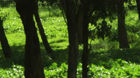 панорамирования : Pan right to left through a forest of trees in the Mount Tabor region of Israel. Green carpeted forest floor. Shot with the Red One digital camera at 4k 4096 x 2304 resolution. 02232011 Стоковые видеозаписи