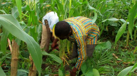 nasiona : Africans weeding in a field.