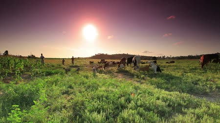barnyard : A herd of cows and goats walking around and eating the grass as the sun sets. People are in the background. Stock Footage