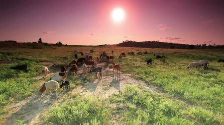 pastar : A herd of goats walking and eating the grass as the sun is coming up. The camera is at a higher angle looking down on the goats.