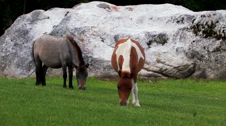 égua : Two miniature ponies eating grass.