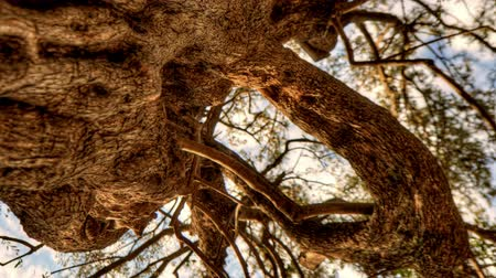 olivový olej : Tracking time-lapse looking up through an olive tree. Shot in Israel. Vertical shot.