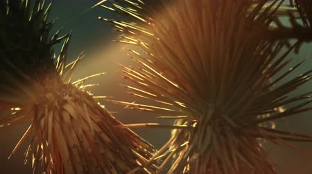 vivo : Close-up footage of joshua tree needles in the desert during sunset. Some needles are green others are brown. FIlmed in NEvada.