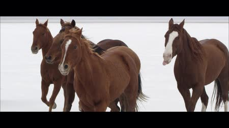 corrida : Slow motion wide screen of horses running on the Bonneville Salt Flats in Utah.