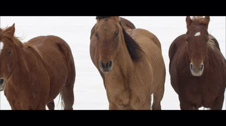 rachaduras : Up close slow motion wide screen of horses running on the Bonneville Salt Flats in Utah as it is snowing. Vídeos
