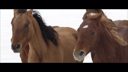 poník : Up close slow motion wide screen of horses running on the Bonneville Salt Flats in Utah as it is snowing. Dostupné videozáznamy