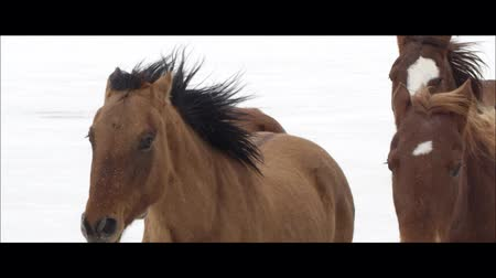 flâmula : Up close slow motion wide screen of horses running on the Bonneville Salt Flats in Utah as it is snowing. Stock Footage