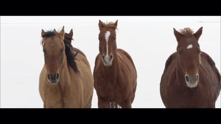 rachaduras : Slow motion wide screen of horses running on the Bonneville Salt Flats in Utah as it is snowing. Vídeos