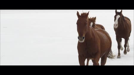 cavalos : Up close slow motion wide screen of horses running on the Bonneville Salt Flats in Utah as it is snowing. Vídeos