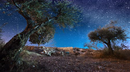 oliva : Astro time-lapse with olive trees in Bethlehem,Israel