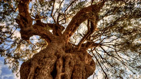olivový olej : Tracking time-lapse looking up through an olive tree. Shot in Israel