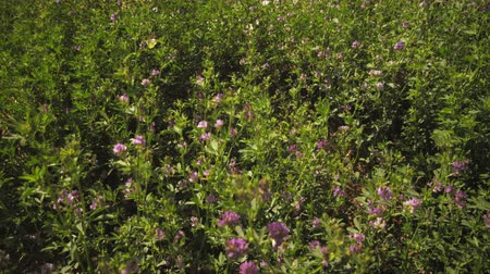 кустарник : Static shot of purple flower bushes. The wind is blowing. A yellow butterfly is visible.