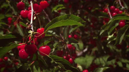 comestíveis : Close-up shot of ripe red cherry treebranch. Branch is blowing in the wind.
