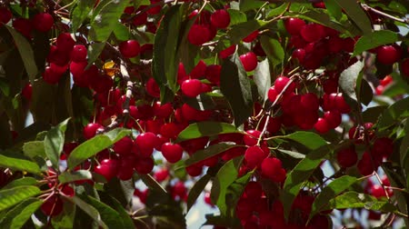 кустарник : Close-up of ripe cherries. Tree branches are blowing in breeze.