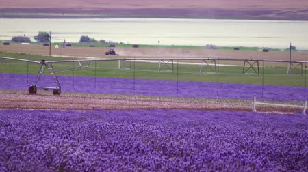 kokulu : Wide shot of lavender field and irrigation system. There is a road in the background where vehicles are seen passing by and a tractor can also be seen in the background. Stok Video