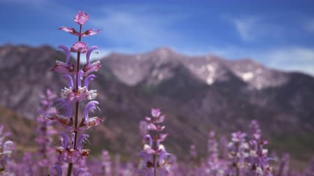 fragrância : Racking focus of lavender and mountains. The shot starts with a close-up of lavender flowers then it blurs and the camera focuses on the mountains behind the flowers.