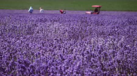 kokulu : Panoramic shot of a lavender field and some people in the background. One person is riding a small trator. Stok Video