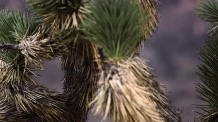 vivo : Close-up footage of joshua tree needles in the desert. Some needles are green others are brown. FIlmed in NEvada.