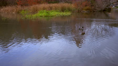 центральный : Shot of ducks swimming towards arched bridge in central park. Стоковые видеозаписи