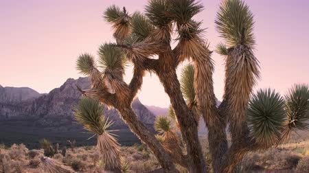 nevada : Time lapse of desert dusk falling over a joshua tree and a distant mountain. FIlmed in Nevada.