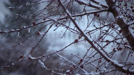gałązki : Close-up shot of a trees branches during a snowstorm