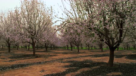 pomar : Medium wide shot of an orchard full of pink and pearl blossoms in Israel. Shot with the Red One digital camera at 4k 4096 x 2304 resolution. 02252011