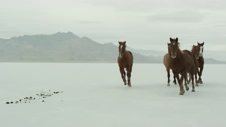cavalos : Slow motion of horses running across the Bonneville Salt Flats in Utah, close.