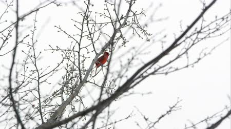 urban birds : Slow motion static shot of a Cardinal chirping in a tree in Central Park. Stock Footage