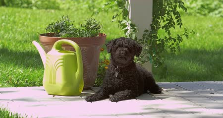 ogrodnik : Static view of black dog sitting in the sun then stand up and walk away.