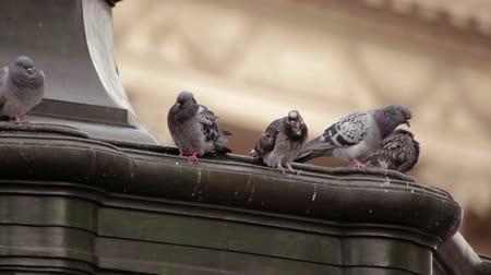 strzałki : A stationary close-up shot of pigeons sitting on the Eros statue on Piccadilly Circus in London. The background is defocused but there is a building. Filmed on October 7, 2011. Wideo