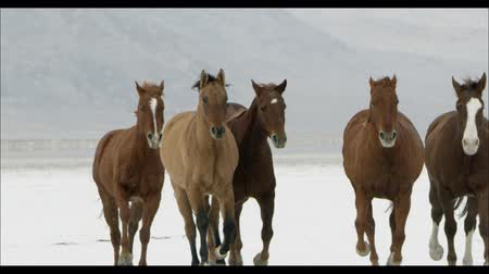 koń : Slow motion of horses running from the distance on the Bonneville Salt Flats in Utah.