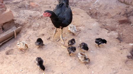 falu : View of mother chicken with her chicks pecking at the ground. Stock mozgókép
