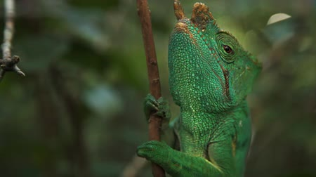 Мадагаскар : Mahajanga, Madagascar - CIRCA 2013 - Up close view of chameleon on a branch in the jungle. Стоковые видеозаписи